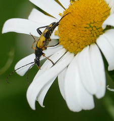Spotted Longhorn Beetle (Rutpela maculata) - Photo of Bellou-en-Houlme