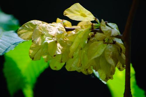 Elm seeds ripening, Newbridge
