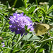 Butterfly on the Scabious - ''Butterfly Blue''