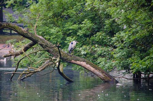 Watchful heron on fallen tree, West Park