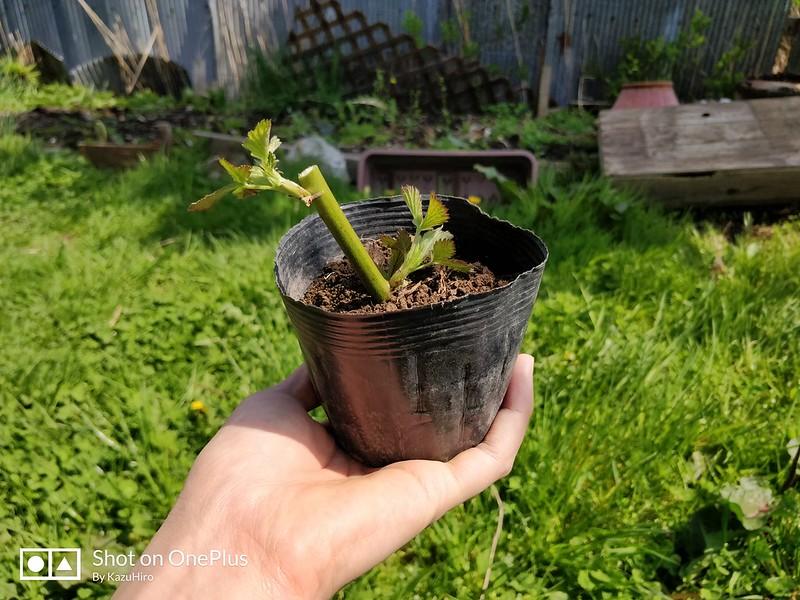 ブラックベリーの苗を作る (8)