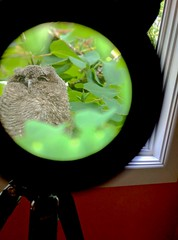 Western Screech-Owl fledgling, Mult. Co., OR_20180616_084847(2)