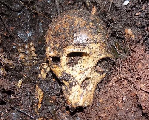 bonobo skull in Mpechi grave