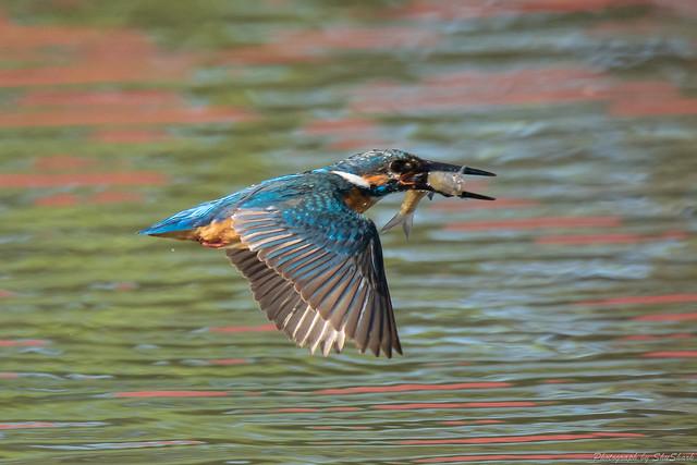 20180601-kingfisher-DSC_3132