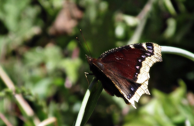 Mourning cloak, Canon POWERSHOT SX160 IS