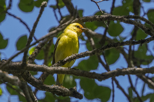 Western Tanager (m)