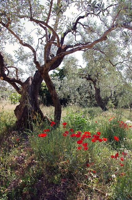 in the olive grove, Pentax K-5 II, Sigma 17-50mm F2.8 EX DC HSM