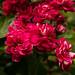 Crimson Hawthorn (Crataegus laevigata)