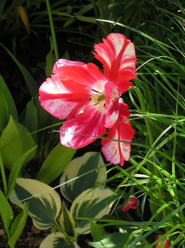 Tulipa cv.