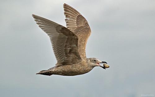 Gull - 094A4818d1c