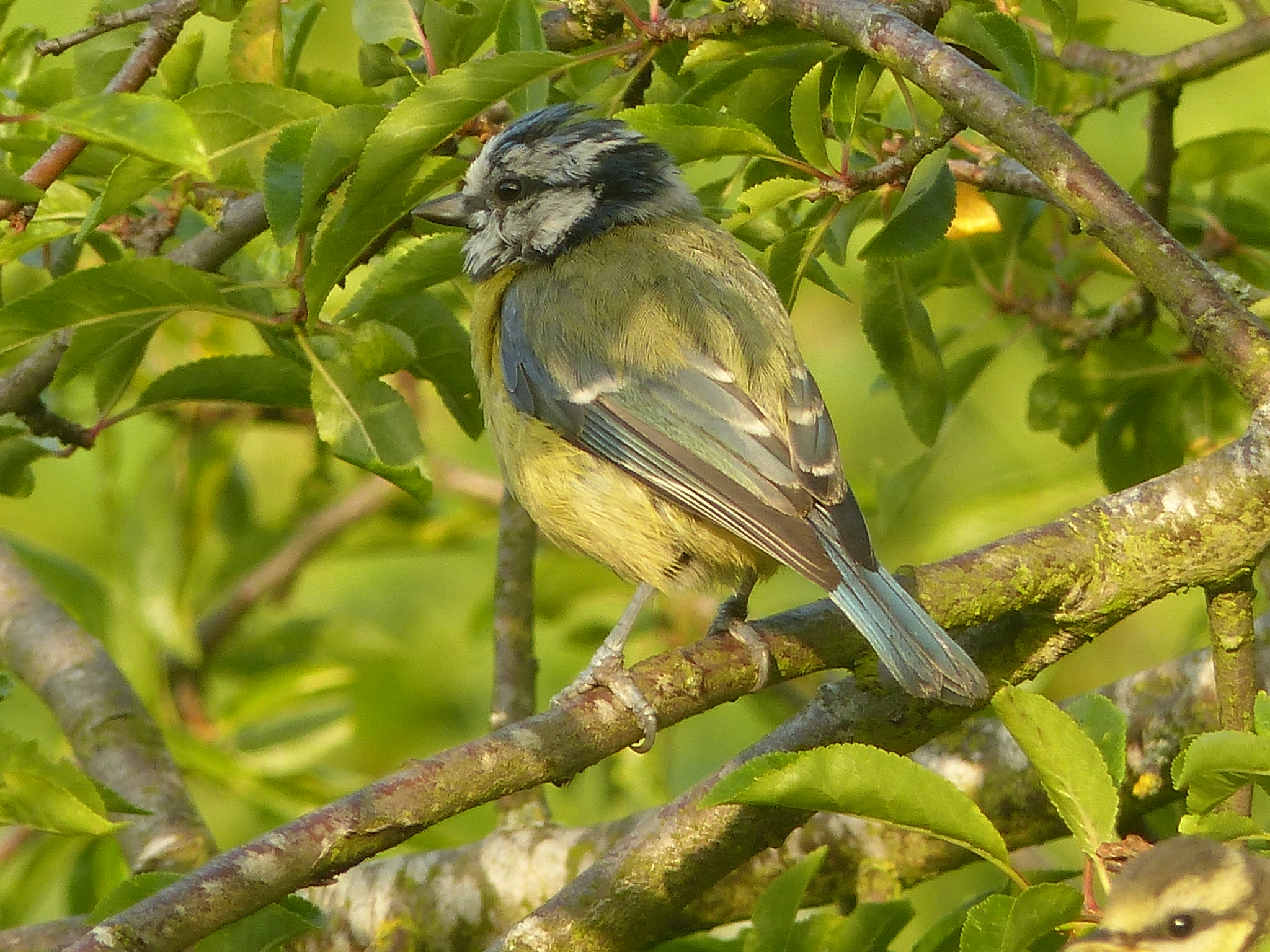 blue tit - early morning delight