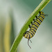 Monarch Butterfly Caterpillars (Királylepke hernyó) by Torok_Bea
