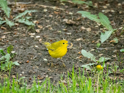 Yellow warbler with a worm