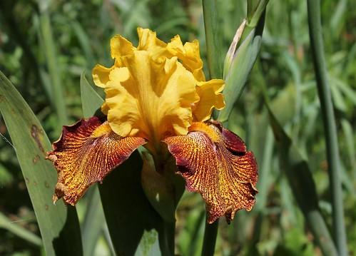 Iris 'Jitterbug' - Keith Keppel 1988 28506553918_21bf061a6c