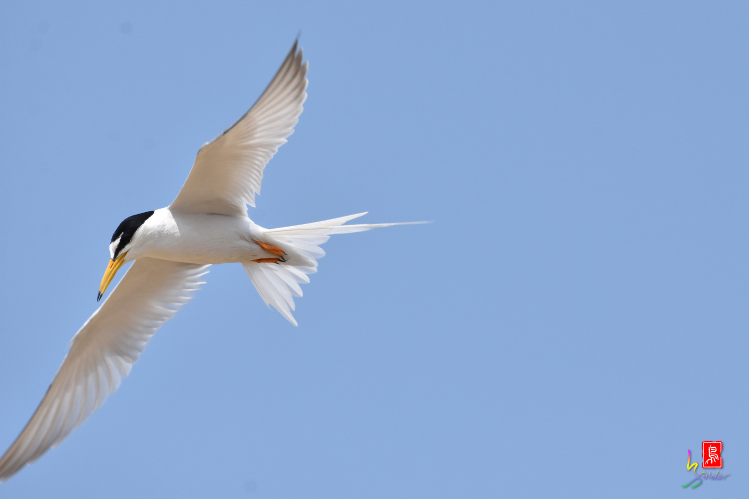 Little_Tern_9981
