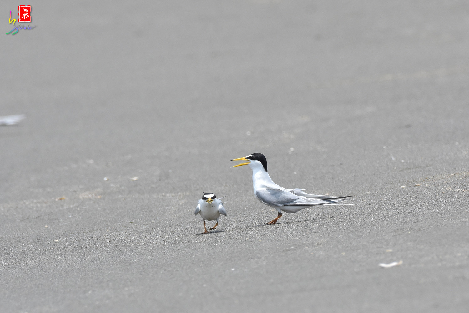 Little_Tern_8863