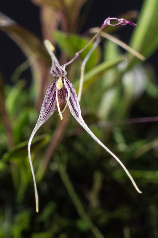 Orchideen-Neuzugang 2 - Seite 3 28680009248_5c4f0b51c2_c