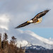 Small photo of Alaskan Eagle