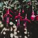 Fuchsia Campo Thilco