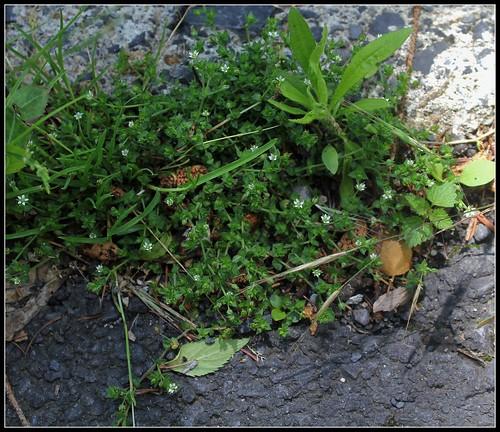 Arenaria serpyllifolia - sabline à feuille de serpollet 28736225038_4ca61cea01
