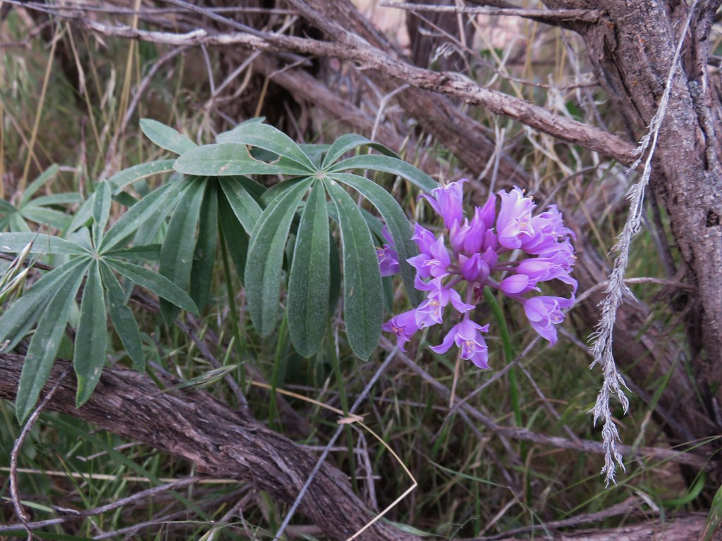 Wild onion and lupine leaves