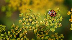 Coccinelle asiatique / Asian ladybeetle