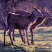 26 Red Deer
