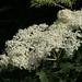 D18220.  Elderflower Blossom.