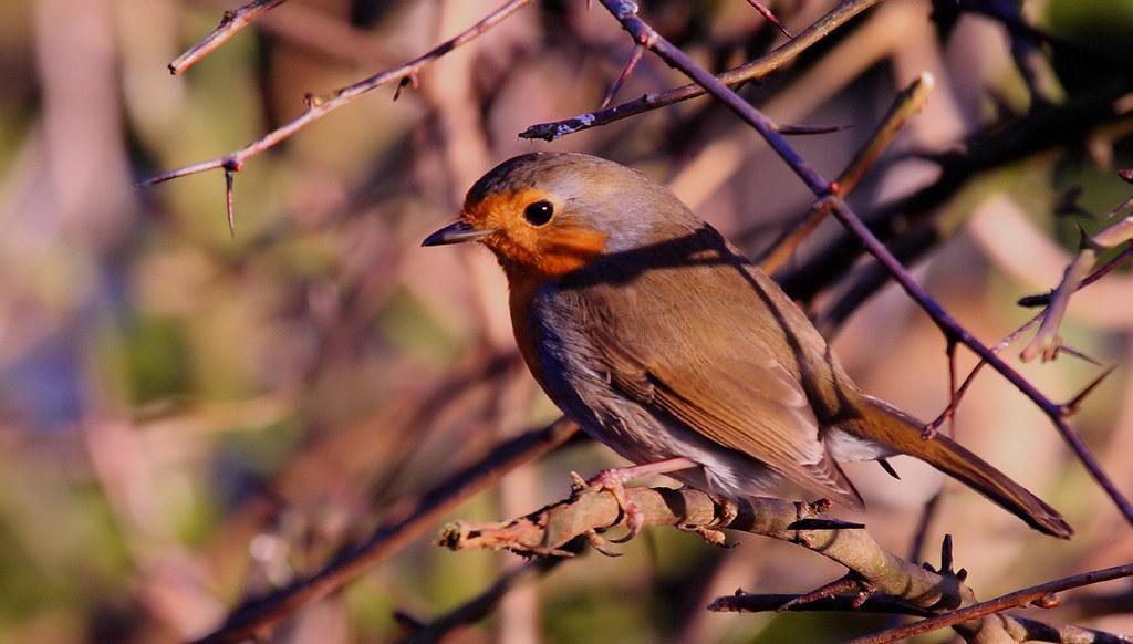 38 Robin