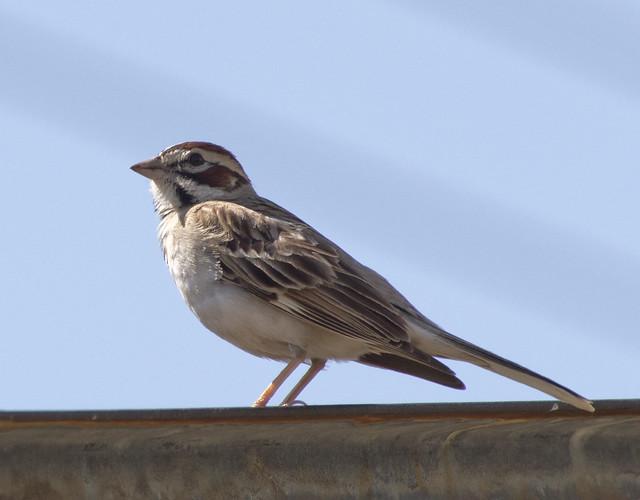 Lark Sparrow, Coldwater Canyon, Olympus E-M5, Lumix G Vario 100-300mm F4.0-5.6 Mega OIS