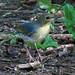 Siberian Blue Robin - male