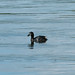 Little Grebe  10