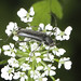 Longhorn Beetle - Grammoptera abdominalis