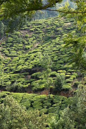 inde india kolukkumalai tea estate kerala ghats vert green plantation mountain montagne thé