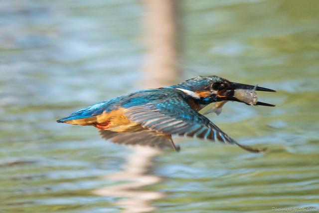 20180601-kingfisher-DSC_3133