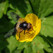 Great Pied Hoverfly - Volucella pellucens