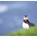 Puffin 2 by shaunyoung365