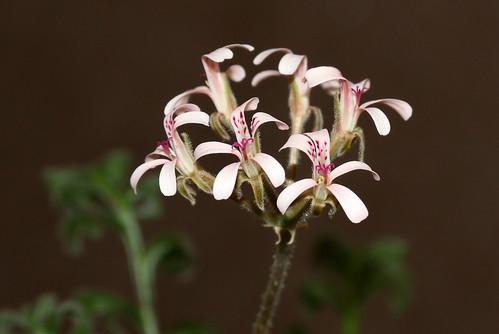 Pelargonium petroselinifolium