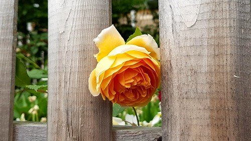 Peeking rose
