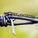 damselfly on wire