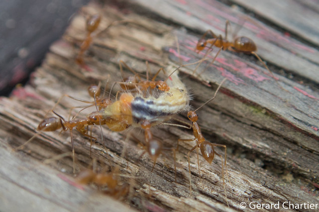 Anoplolepis gracilipes (Yellow Crazy Ant)