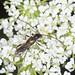Pear Shortwing Beetle - Glaphyra umbellatarum