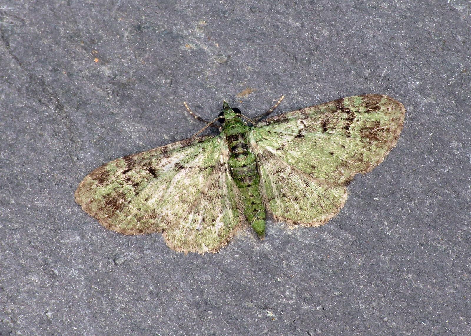 70.144 Green Pug - Pasiphila rectangulata