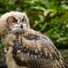 Portrait of an Eagle Owlette