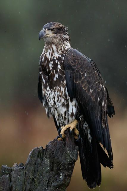 Bald Eagle Portrait, Canon EOS 7D MARK II, Canon EF 500mm f/4L IS II USM