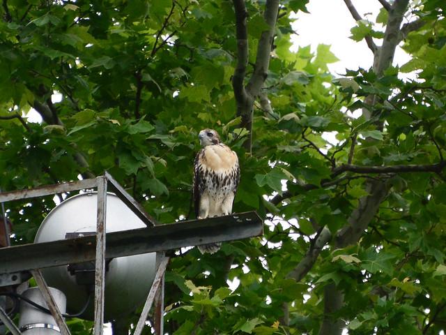 Final GT Hawk Nestling - 0971