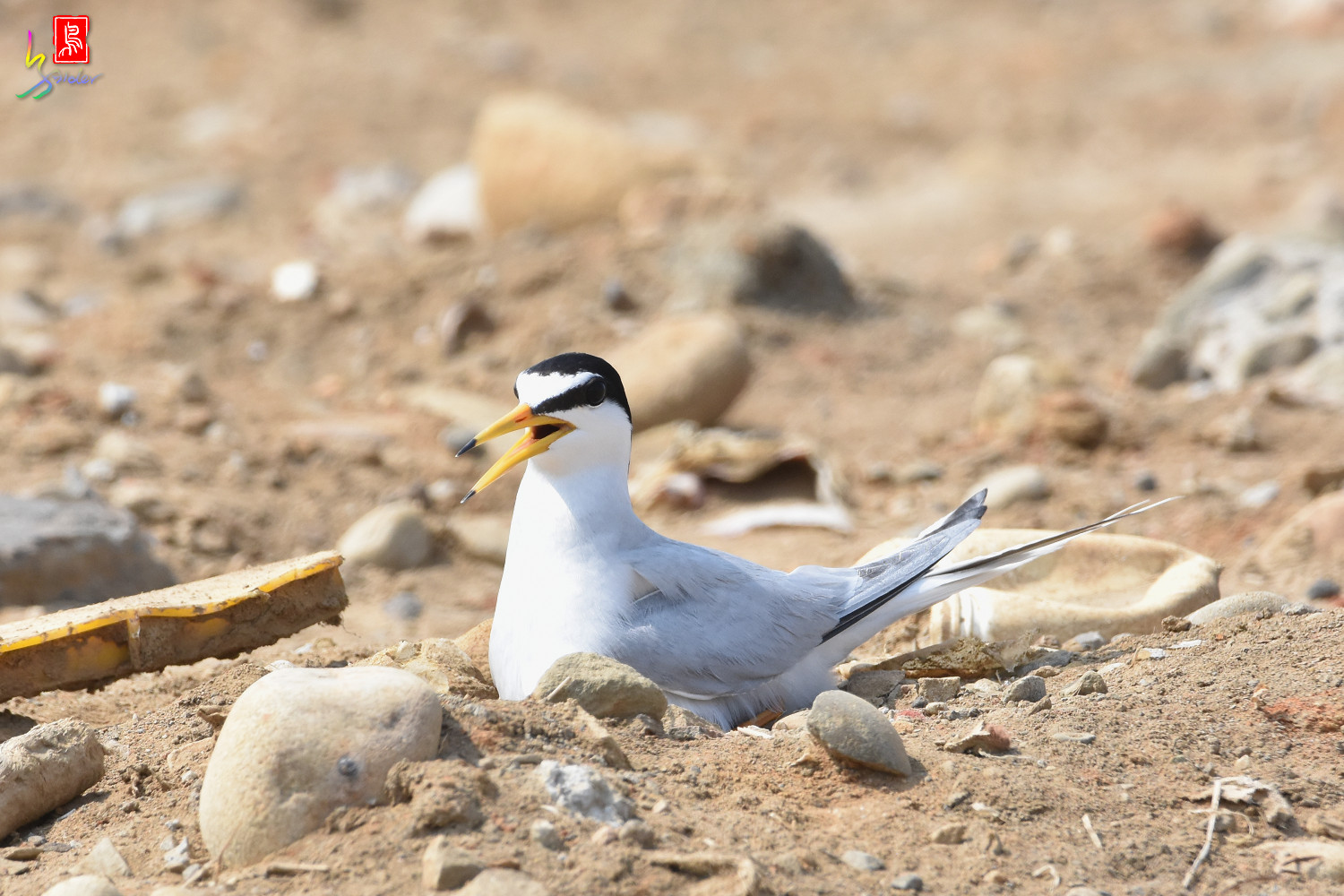 Little_Tern_0155