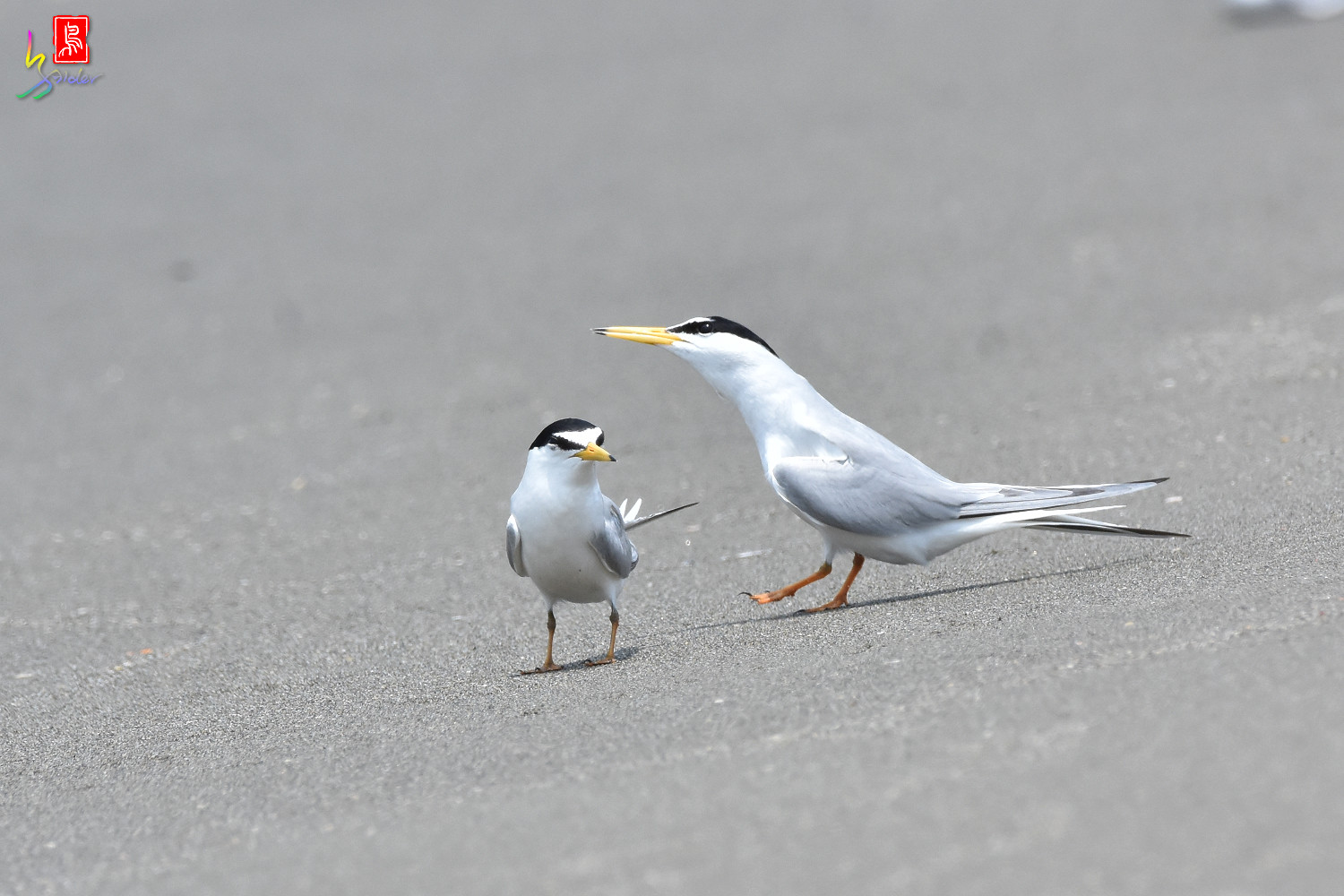 Little_Tern_8885