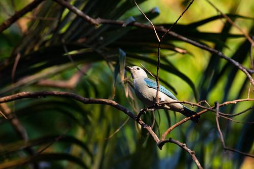 bird oiseau blue nature animal panama