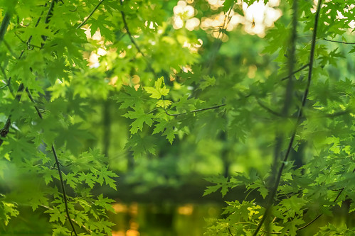 dappled ngc a7rii bokeh beautiful composition color dof depthoffield divinebeauty pied fullframe frame focus goldenhour green golden forest wood woods illuminated illumination leadinglines light lines landscape leaves mirrorless magical orange sony sonya7rii peaceful pattern prime pov plants pointofview quiet tranquil repetition reflection river riverscape sudbury sudburyriver concord concordacademy riverbank season spring tree trees vantagepoint viewpoint vivid view water waterway zeiss zeissbatis zeissbatis85mm 85mm 1885mm verte
